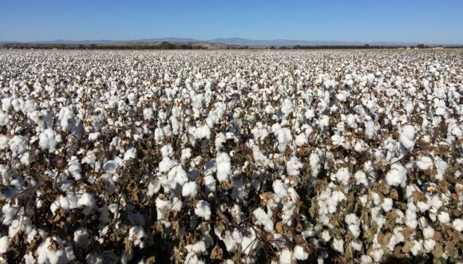 rh cotton