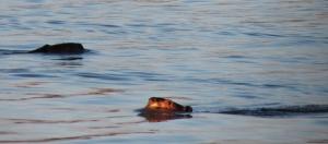 cl-2-beavers
