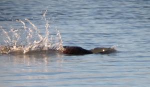 cl-beaver-splash