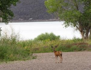 cl-deer