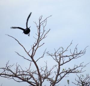 cl-raven-flying