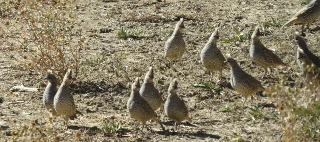 Scaled quail.